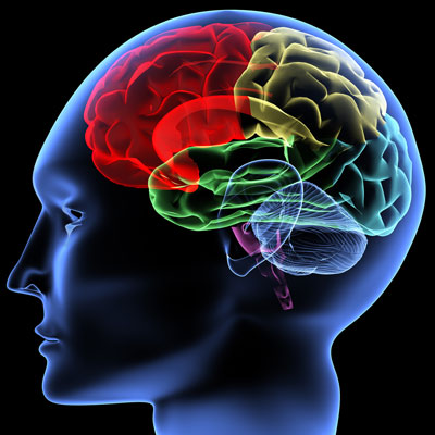 Amygdala Het Emotionele Brein Natuurdietistennl