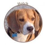 Beagle Hotch