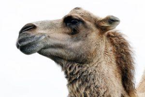 Kan kamelenmelk bij maag-darmklachten?
