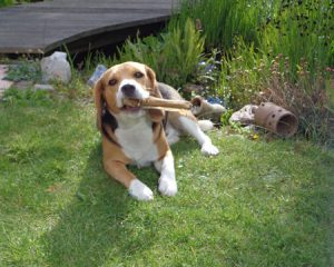 Verstopping bij honden